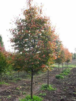 Patriot Princeton In >> Our Trees – Leaves Inspired Tree Nursery